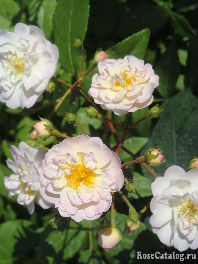 роза хеди гримм описание фото мужской