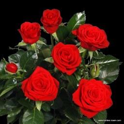 Kordana Classic Scarlet Mercedes Kordana ®