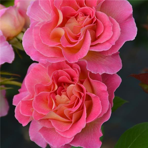 роза парадиз фото и описание голова