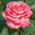 Panthere rose