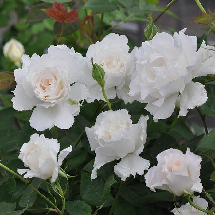 Розы японской селекции дзунко кавамото рецензии 3831