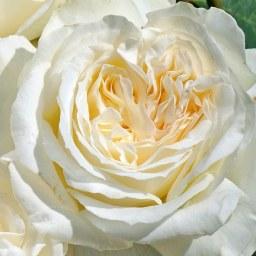 Аромат розы описание