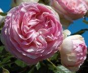 EDEN ROSE® Pierre de Ronsard