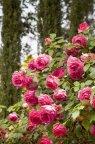 Pink EDEN ROSE / Cyclamen PIERRE DE RONSARD