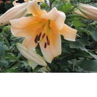 Эудоксия (Lilium Eudoxia )