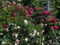 Swany и Ivor's Rose