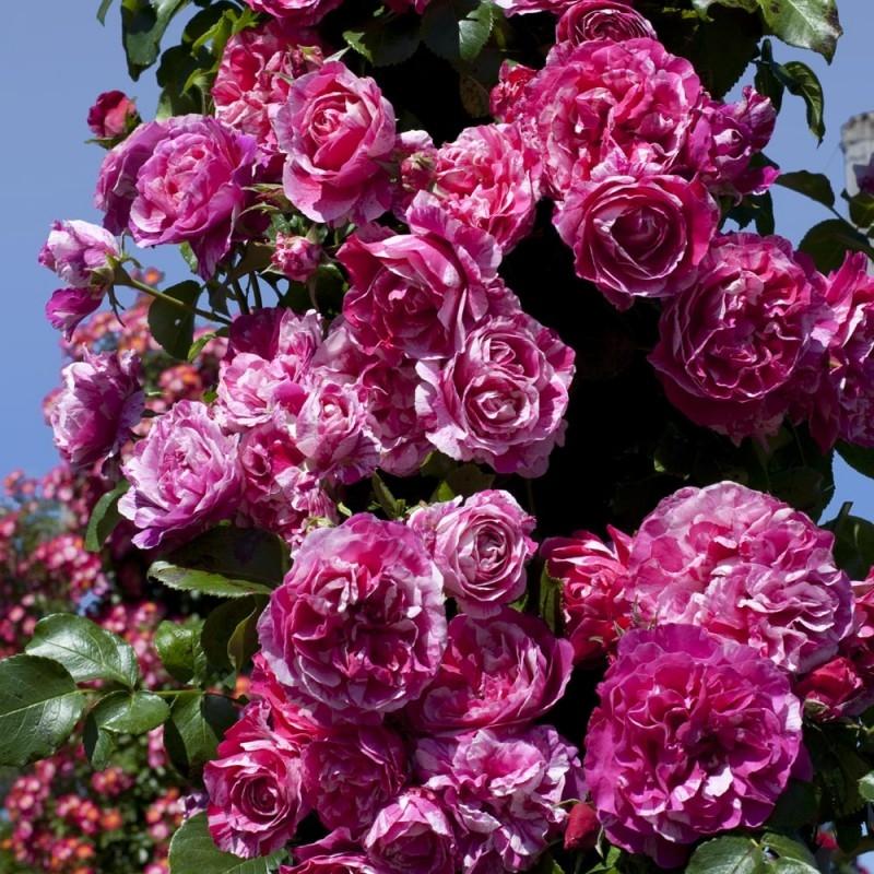 розы плетистые фото с названием сорта многих есть свои