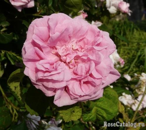 La Rosa 'centifolia'