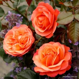 Coral Lions-Rose