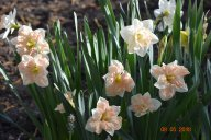 цветут нарциссы