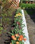 как на парад тюльпаны в ряд