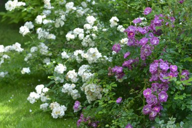 Guirlande d'Amour - куст , Purple Skyliner - куст