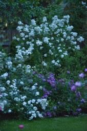 Guirlande d'Amour - куст и штамб, Purple Skyliner - куст