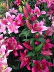 Сад розовых лилий
