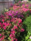 Флоксовый сад