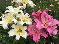 Любимые лилии