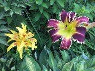 Дружат лилии и лилейники