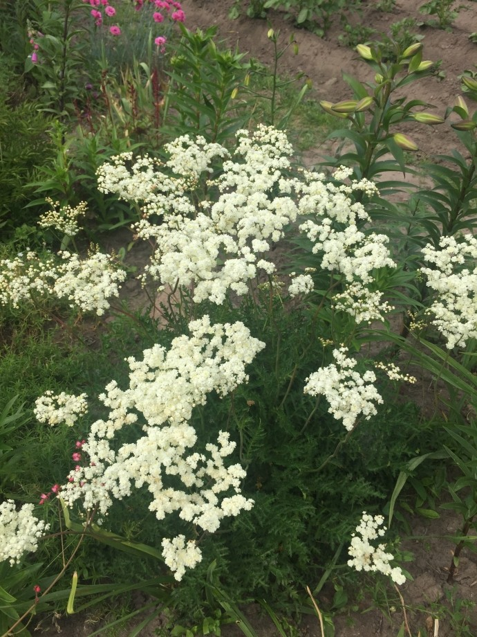 Филепендула цветет
