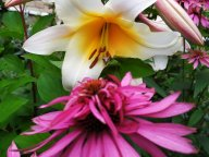 Эхинацея и лилия