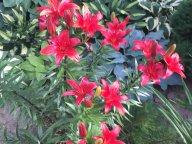 Лилии на фоне хостового сада