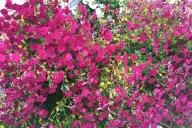 Буйства хризантем