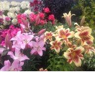 Лилии в августе