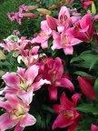 Лилейный сад