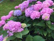 Цветут гортензии