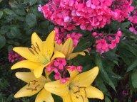 Дружат лилии и флоксы
