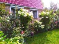 Цветут гортензии у меня в саду