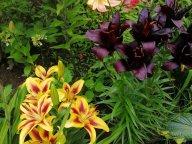 Новые сорта лилий у меня в саду
