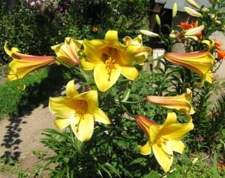 Лилия трубчатая Голден Сплендор (Golden Splendour)