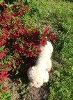 Вейгела цветет