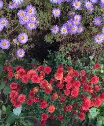Хризы цветут