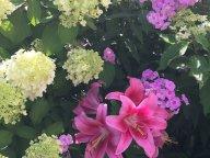 Дружные соседи лилии, гортензии и флоксы!