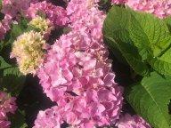 Розовая в цвету