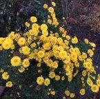 Время хризантем
