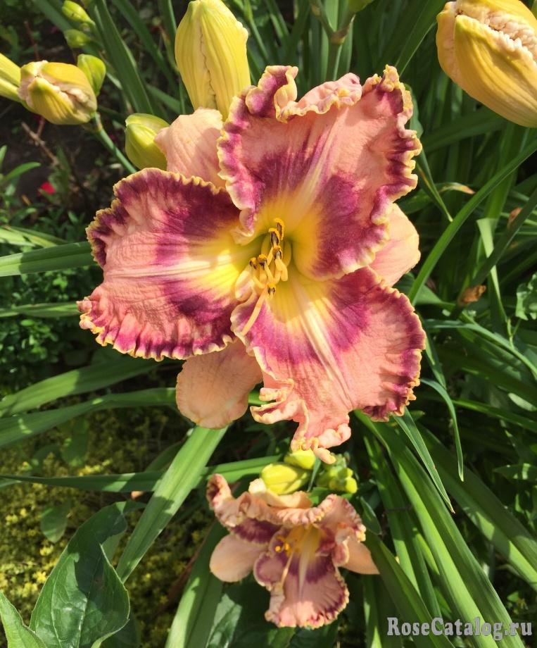 В июле зацветают лилейники