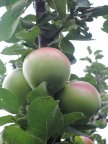 Яблоки Останкино