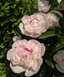 Paeonia Eden's Perfume