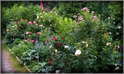 Мой розовый сад со штамбами