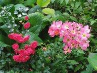 Роза  Negresco  и Pink Drift