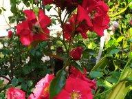 Роза Salsa