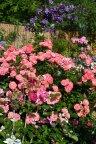 Mein schoner Garten и клематис Victoria