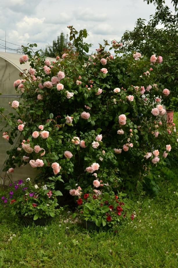 роза де толбиак от кордеса фото объявления пропаже