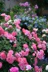 Mein schoner Garten и клематис цельнолистный Arabella