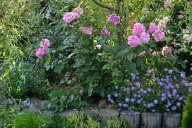 Rose de Pompadour и Скабиоза японская8025d335