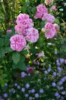 Rose de Pompadour и Скабиоза японская