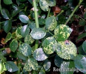 Вирусная мозаика розы