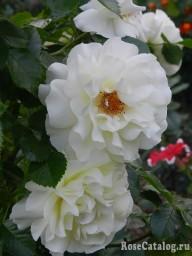White Meilove